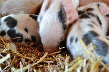 Several hours old Gloucestershire Old Spots piglets. Boondockers Farm March 11, 2014